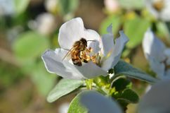 La abeja recolecta el néctar del flor de la manzana Imagen de archivo