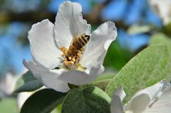 La abeja recolecta el néctar en inflorescencia de la manzana Imagenes de archivo