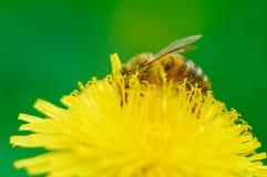 La abeja recolecta el polen Imágenes de archivo libres de regalías