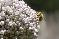 La abeja recolecta el polen Fotos de archivo libres de regalías