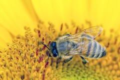 La abeja recolecta el polen Fotografía de archivo libre de regalías