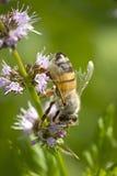 La abeja recolecta el polen Imagen de archivo libre de regalías