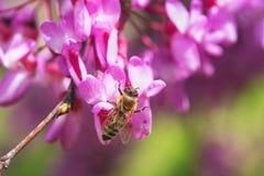 La abeja recolecta la miel de las flores púrpuras en el árbol Fotos de archivo libres de regalías