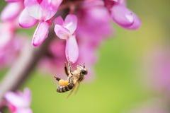 La abeja recolecta la miel de las flores púrpuras en el árbol Imágenes de archivo libres de regalías