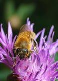 La abeja recolecta la miel de las flores rosadas en tiempo de primavera Imagen de archivo