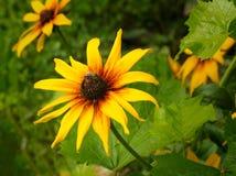 La abeja recolecta la miel en el corazón de la flor amarilla grande. Foto de archivo