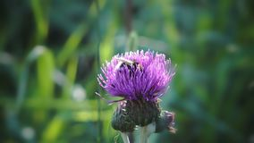 La abeja recolecta macro azul de la mayor bardana de la flor de la miel en campo, en jardín, fondo salvaje del verde de la flora  metrajes