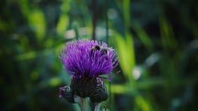 La abeja recolecta macro azul de la mayor bardana de la flor de la miel en campo, en jardín, verde salvaje de la flora de la bell almacen de metraje de vídeo