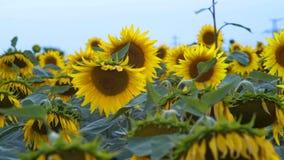 La abeja recolecta un néctar en el campo de las flores de girasoles que llora en el viento almacen de metraje de vídeo