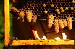 La abeja reina Imagenes de archivo
