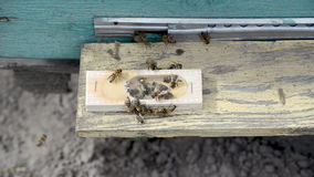 La abeja-reina almacen de metraje de vídeo