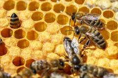 La abeja reina con las abejas en los peines Imagenes de archivo