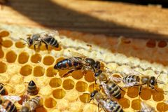 La abeja reina con las abejas en los peines Fotos de archivo