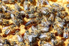 La abeja reina con las abejas en los peines Fotos de archivo libres de regalías