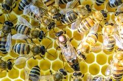 La abeja reina es más grande que abeja de trabajador Abeja reina rodeada por sus trabajadores Fotografía de archivo