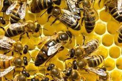 La abeja reina es rodeada siempre por las abejas de trabajadores Imágenes de archivo libres de regalías