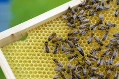 La abeja reina es rodeada siempre por los trabajadores - su criado Apicultura Fotos de archivo libres de regalías
