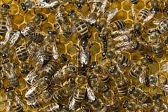 La abeja reina pone los huevos en célula Imágenes de archivo libres de regalías