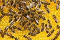 La abeja reina pone los huevos en el panal Foto de archivo libre de regalías