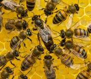 La abeja reina pone los huevos en el panal Fotos de archivo libres de regalías