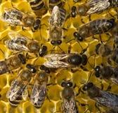 La abeja reina pone los huevos en el panal Imagen de archivo libre de regalías