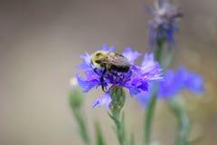 La abeja resuelve Cornflower foto de archivo
