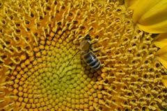 La abeja roba el polen Imagen de archivo libre de regalías