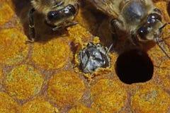 La abeja roe a través de una abertura. Imagenes de archivo
