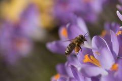 La abeja - símbolo de la primavera Imagen de archivo