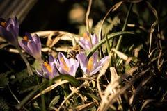 La abeja sale de una flor del azafrán Foto de archivo libre de regalías