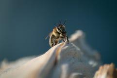 La abeja salvaje Foto de archivo