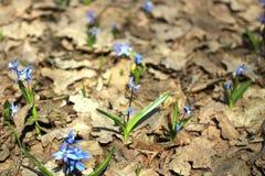 La abeja salvaje, insecto, Scilla, primavera florece Fotografía de archivo libre de regalías