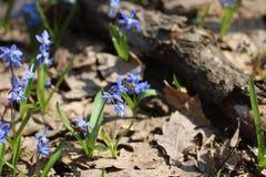 La abeja salvaje, insecto, Scilla, primavera florece Foto de archivo libre de regalías