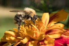 La abeja salvaje recoge el néctar Imagenes de archivo