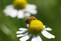La abeja salvaje recoge el néctar de una flor Imágenes de archivo libres de regalías