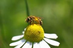 La abeja salvaje recoge el néctar de una flor Fotografía de archivo