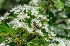 La abeja salvaje recoge el polen de las flores del Crataegus en mayo Fotos de archivo libres de regalías