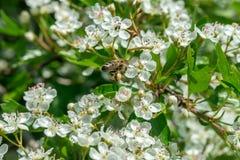 La abeja salvaje recoge el polen de las flores del Crataegus en mayo Imagenes de archivo