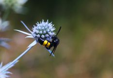 La abeja salvaje se sienta en una flor Foto de archivo