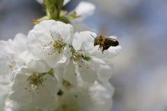 La abeja se acerca a Cherryblossom Fotografía de archivo libre de regalías