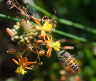 La abeja se acerca a la flor Imagen de archivo