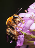 La abeja se aferra en la flor minúscula Foto de archivo libre de regalías
