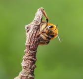 La abeja se aferra en la ramita seca Imagen de archivo libre de regalías