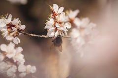 La abeja se arrastra en el flor del ciruelo en primavera Fotografía de archivo