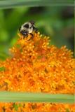 La abeja se está sentando en la flor Fotos de archivo