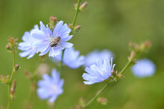 La abeja se está sentando en la flor de la achicoria Foto de archivo libre de regalías