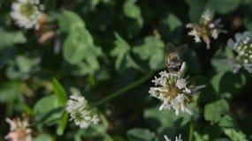 La abeja se está sentando en una flor de un trébol Foto de archivo