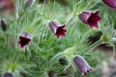 La abeja se est? sentando en la flor de la an?mona en el bosque soleado Pasque de la primavera o la an?mona crece salvaje y su fl fotos de archivo