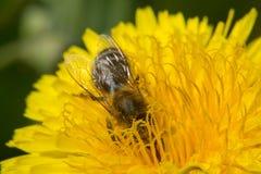 La abeja se lanzó en el trabajo Imágenes de archivo libres de regalías