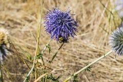 La abeja se sentó en una flor púrpura y bebe el néctar Imagen de archivo